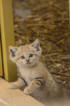 Sand cat kitten - (Felis margarita)  Photo taken at Parken zoo Eskilstuna, Sweden