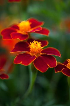Tagetes patula, 'Burning Embers' Seeds from Chiltern Seeds - Chiltern Seeds Secure Online Seed Catalogue and Shop Cut Flowers, Colorful Flowers, Rainbow Garden, Perennial Vegetables, Fruit Seeds, Seed Catalogs, Garden Soil, Types Of Soil, Ornamental Grasses