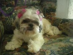 Shih Tzu is an adoptable Shih Tzu Dog in Moreno Valley, CA. Let's be BFF! ...  ...