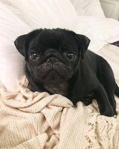 """Thank you to @apugcalledrosie! TAG us to be featured ... """"Ready to snooze the weekend away! """" ... #pug #pugsofinstagram #pugsrule #pugsnotdrugs #pugnation #puglife #puglove #lazy #lazysunday #lazysunday #pugstagram #dogsofinstagram #dogdays #sundayfunday #petsofinstagram #pug #puglovers #pugnation #luv_a_pug #pugsnotdrugs #pugworld #dogsofinstagram #worldofcutepets #dailybarker #badasspugclub #pugowners #pugfeature #mansbestfriend #joingrumble_inc #puglifemag #featuremypug #pugdog_ig #pug…"""