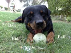 I love rottweillers (all large breeds, actually) and I love this caption! Sometimes dogs are so refreshingly single-minded.