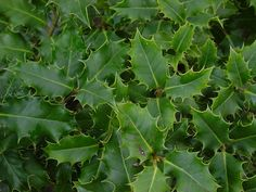 Ilex aquifolium - Shrub Seeds - English Holly :: Seeds for Sale, Tree seeds, Shrub seeds, Flower seeds, Vine seeds, Herb seeds,Grass seeds, Vegetable seeds