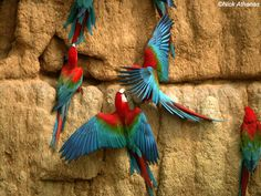 Macaws.... gathering minerals from rock walls, would love to see this!