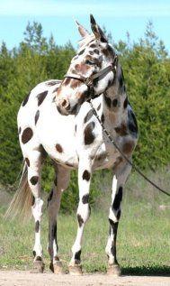 Rosco is a gorgeous loud leopard appaloosa mule