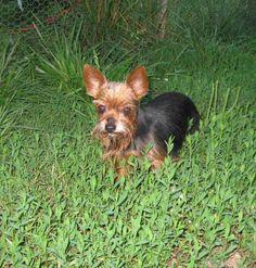 Petfinder Adopted | Dog | Yorkshire Terrier Yorkie | Camden, MO | Maddie
