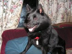 Skipper                            Schipperke:                   An adoptable                                    dog                                     in                   Mirror Lake, NH                                                                          Small                   •                  Young                    •                  Male
