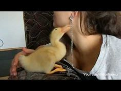 Cute Duckling Reloaded I'm the cute baby duck. I like to watch my video on Youtube. I want to play but mom says I have to finish my food. I like jewelry. Don't ever ever try to leave me alone...I will follow you everywhere :*