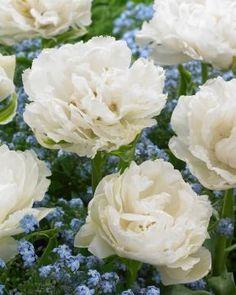 Kerrattu tulppaani Grobina My Spring, Spring Time, Daffodils, Tulips, Spring Bulbs, Rose, Green, Flowers, Plants