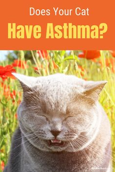 Find out about asthma in cats and if your kitty has any of the symptoms. Plus, treatments and how to care for your asthmatic cat. #aboutasthmaincats #asthmaincats #felineasthma #catasthma #cathealthproblems Cat Health, Health Tips, Cat Asthma, Calming Cat, Pet Vacuum, Asthma Symptoms, Cat Treats, Cat Food, Beautiful Cats