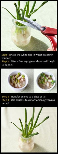 Growing green onion in water How To: Place the white tips in water in a sunlit window. After a few says green shoots will begin to appear. Transfer onions to a glass or jar. Use scissors to cut off onions greens as neded.