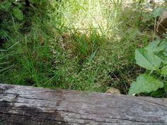 หญ้าไข่เหา (Cyrtococcum patens (L.) A. Camus)