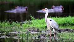 Grey Heron Spotted near Skukuza,KNP sighting by Africa: Live App User Eddie Fisher... beautiful pic/