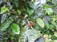 Coffee beans from our farm in Panama