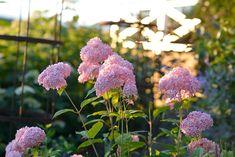 En rosa vidjehortensia man lätt blir kär i..   Zetas Backyard, Victoria, Fruit, Garden, Instagram Posts, Plants, Blog, Patio, The Fruit