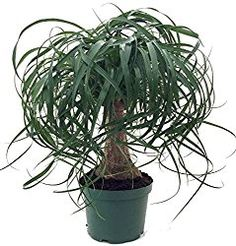 Ponytail Palm tree is a succulent native to Mexico. Its easy-care nature makes it a popular house plant. Find out how to water, when to fertilize, repot and more.