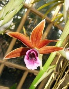 Phaius Tankervilliae Phaius Orchid...