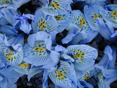 Iris Histrioides Katherine Hodgkin