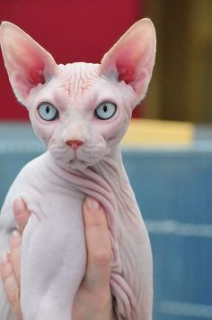 Sphynx Catalmost Had I Love Cats, Cool Cats, Cute Hairless Cat, Sphinx Cat, Mean Cat, Photo Chat, Cat Photography, Beautiful Cats, Cat Breeds