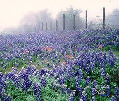 Texas Bluebonnets growing alongside US Highway 290 between Austin and Houston.