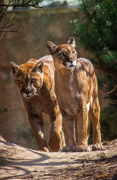 Two pumas (Puma concolor), also known as cougar or mountain lion, strolling down a sunny trail. The puma is a big cat native to the Americas, ranging from the Canadian Yukon to the southern Andes of South America. Beautiful Cats, Animals Beautiful, Big Cats, Cats And Kittens, Animals And Pets, Cute Animals, Wild Animals, Baby Animals, Gato Grande