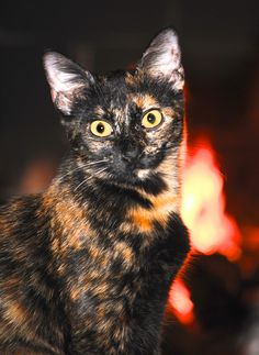 Calico Cat ~This is a Tortoiseshell, or Torty for short, not a calico~ Pretty Cats, Beautiful Cats, Animals Beautiful, Cute Animals, Animals Images, Kittens Cutest, Cats And Kittens, Ragdoll Kittens, Tabby Cats