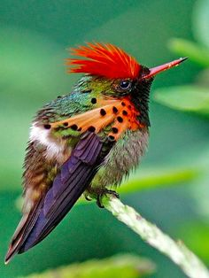 "rosiesdreams: ""Tufted Coquette Hummingbird .. By Roy Plowman """