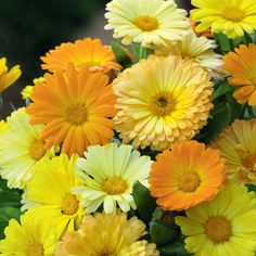 """Calendula 'Fruit Twist' - A delightful dwarf variety that would brighten up the front of any border. Super easy to grow. Height 6""""."""
