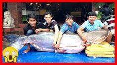 TOP 10 loài cá nước ngọt khổng lồ nhất thế giới