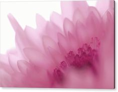 Jenny Rainbow Fine Art Photography Acrylic Print featuring the photograph La Vie en Rose - Dreamy Chrysanthemum by Jenny Rainbow All Flowers, White Flowers, Beautiful Flowers, Thing 1, Purple Roses, Chrysanthemum, Fine Art Photography, Bouquet, Rainbow