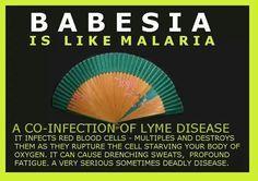 #babesia
