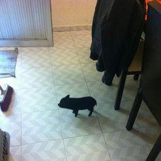Mini Pig!!!
