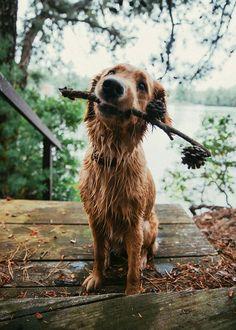 beautful girls — Golden retriever loves the summer Animals And Pets, Baby Animals, Cute Animals, Cute Puppies, Dogs And Puppies, Pet Dogs, Dog Cat, Doggies, Tier Fotos