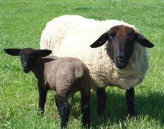 Suffolk Sheep with Lamb - there must be a way to convince hubby we NEED two of these !
