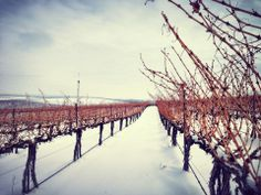 Although it may not look like it, the snow is melting in this sunny and 48° degree weather | Seven Hills Vineyard | Walla Walla, Washington