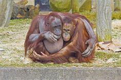 Image: Orangutans (© Rex Features)