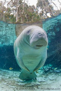 Florida Manatee at Crystal River, Florida | by TheLivingSea.com