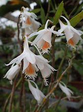 Dendrobium longicornu 1 Espécies De Plantas, Orquídeas