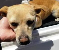 Killed ☠️  Animal ID\t35082257 \r\nSpecies\tDog \r\nBreed\tChihuahua, Short Coat\/Mix \r\nAge\t \r\nGender\tFemale \r\nSize\tSmall \r\nColor\tTan \r\nSite\tCity of El Paso, Animal Services \r\nLocation\tExotics \r\nIntake Date\t4\/12\/2017 \r\n