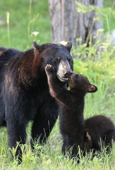 Mama Black Bear getting affection from her Cubs :-) Bear Pictures, Cute Animal Pictures, Nature Animals, Animals And Pets, Beautiful Creatures, Animals Beautiful, Cute Baby Animals, Funny Animals, Bear Cubs