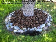 Use pine cones as a natural mulch to keep dogs, cats & other digging animals out of garden beds