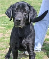 Clark is an adoptable Labrador Retriever Dog in Columbus, OH.  Primary Color: Black Weight: 55.6 Age: 3yrs 6mths 0wks  Animal has been Neutered...