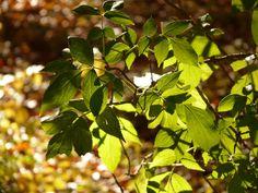 #Holunderöl bei Insektenstichen Grünes Holunderöl wird schon seit dem Spätmittelalter verwendet. Es wird gerne bei Insektenstichen verwendet. In der Volksmedizin wird es auch bei äusserlichen Entzündungen aufgetragen. Um euer eigenes grünes Holunderöl selber herzustellen benötigt ihr nicht viel. Ein kleines Fläschen, das man verschliessen kann, Leinöl und Holunderblätter und natürlich die Sonne. Also drückt die Daumen, das sie […]