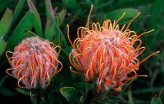 leucospermum-truncatum - Google'da Ara