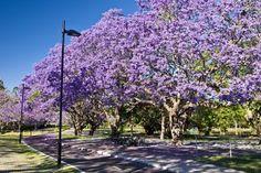 Flowering Jacaranda trees, University of Queensland, Brisbane, Qld., Australia - Mark A Johnson/The Image Bank/Getty Images