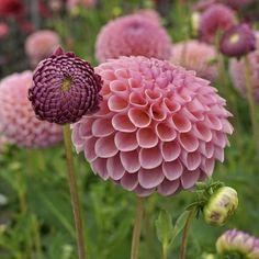 Flower Farm, Flower Pots, Growing Flowers, Planting Flowers, Bee Attracting Flowers, Dalia Flower, Flower Names, Belleza Natural, Rose Buds