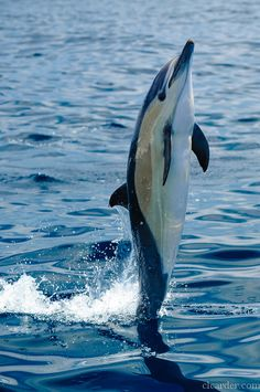 Short-beaked common dolphin (delphinus delphis) (by clcarder). Making swimming on ones' tail look simple!