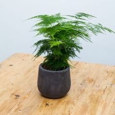 5 easy to care for houseplants, asparagus fearne.