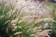 Ornamental Grasses | Drought-Resistant Ornamental Grasses | This ...