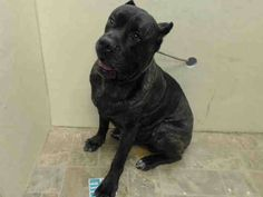 Brooklyn Center  TROY - A1012992 ***DOH HOLD 9/4/14***  MALE, BL BRINDLE, CANE CORSO MIX, 7 yrs OWNER SUR - ONHOLDHERE, HOLD FOR DOH-HB Reason DOHREQUEST  Intake condition EXAM REQ Intake Date 09/04/2014, From NY 11421, DueOut Date ,  https://www.facebook.com/Urgentdeathrowdogs/photos/pb.152876678058553.-2207520000.1410116702./866291203383760/?type=3&theater