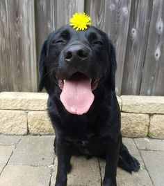 "324 Likes, 13 Comments - bowie_the_lab (@bowie_the_labrador) on Instagram: ""The flower lady @lafebre.66 put me up to this. She thought, she combine the 2 best things. But we…"""